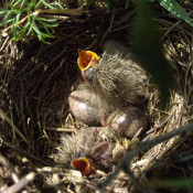 Ground-nesting birds