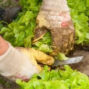 Erste Gemüse-Testflächen werden 1994 angelegt