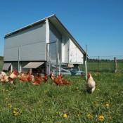Legehennen in mobilen Hühnerwägen wohnen seit 2011 in Brodowin