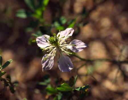 Nigella Blüte