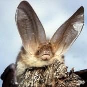 Eine in Brodowin lebende Fledermausart: das braune Langohr