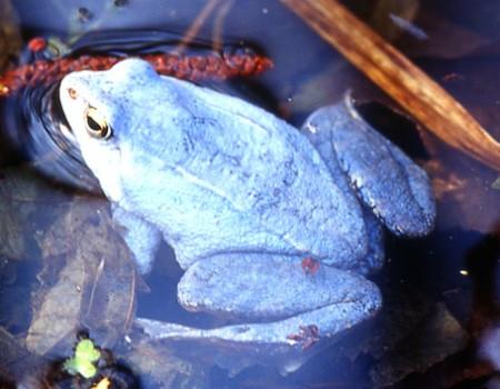 Richter-Moorfrosch blau