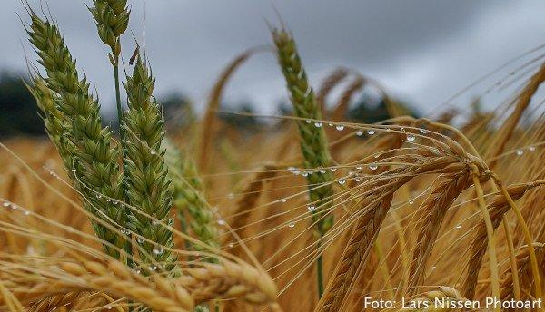 Getreide bei Regen